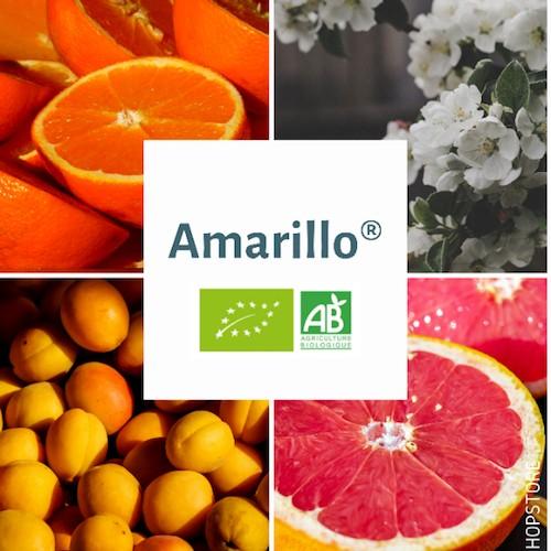 Houblon bio Amarillo