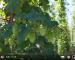 Screenshot_2020-09-28 Les houblons BIO slovène en 2020 - HOPSTORE3